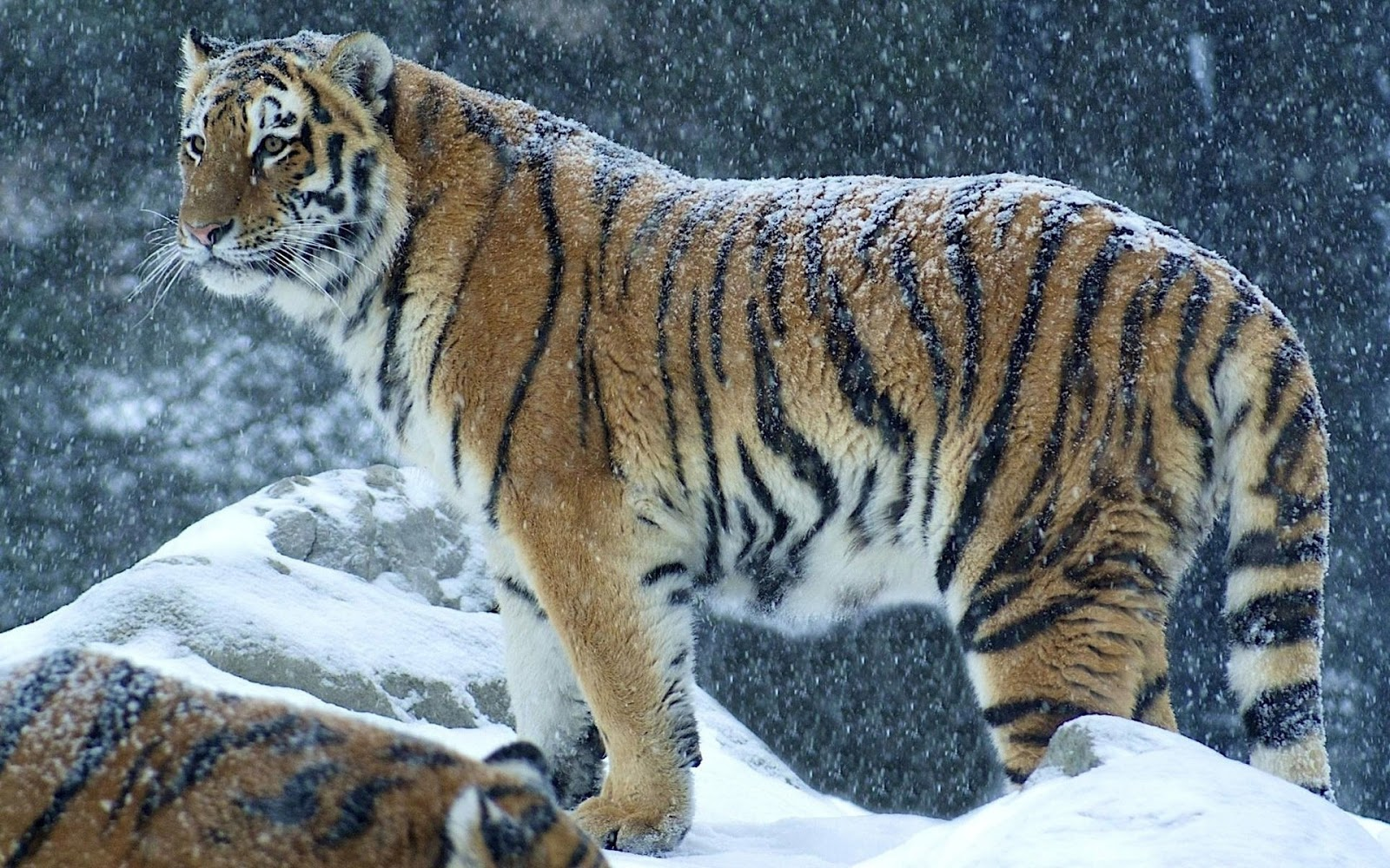 Best Tiger Full HD Images