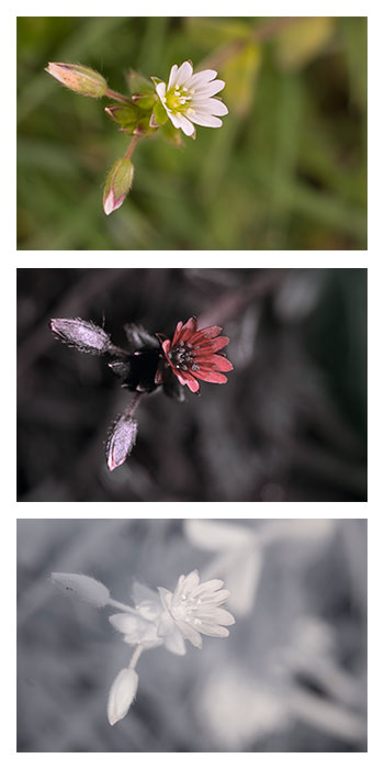 Photo of a Cerastium fontanum (Common mouse-ear chickweed) flower in visible light (top), ultraviolet light (middle), and infrared (bottom)