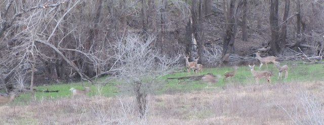 Large group of white-tailed deer in George Bush Park at dusk Feb 2013