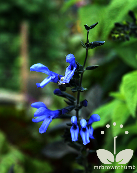 Salvia guarnitica 'Black and Blue'