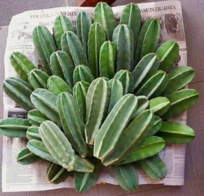 Kaktus Koboi Ukuran 20 25 Kaktus Belimbing Sulawesi Utara