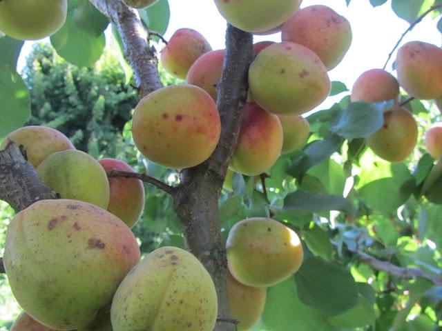 Albicocco carico di albicocche