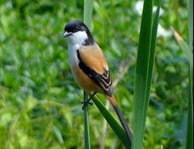 Cara Jitu Merawat Burung Cendet Cepat Gacor