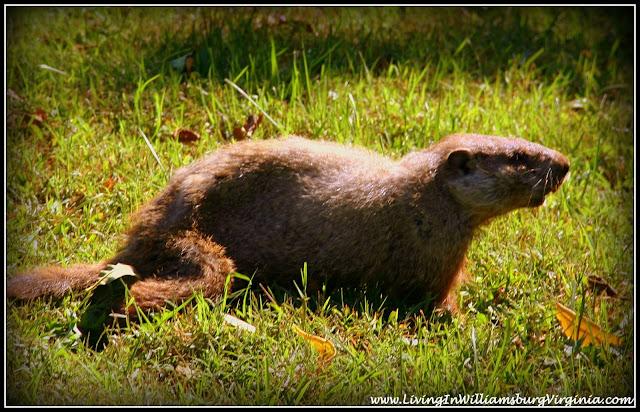 Living In Williamsburg, Virginia: Happy Royal Groundhog