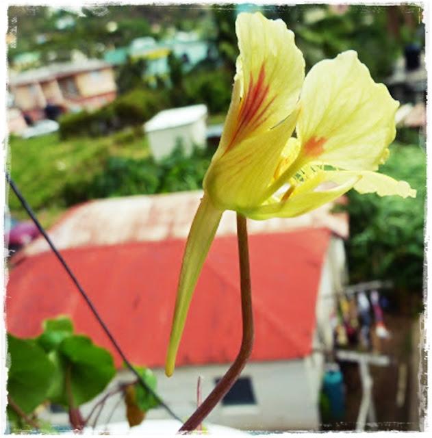 edible-nasturtiums