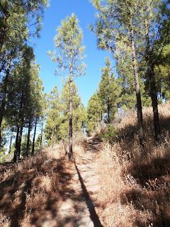 camino entre los pinos