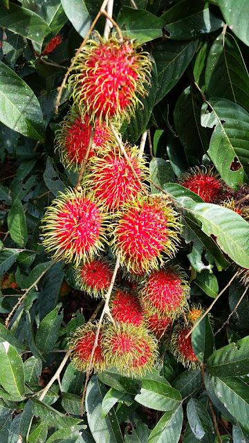 Warisan Petani Tanaman Rambutan