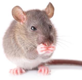 imagenes de ratones