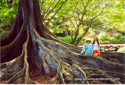 huge Moreton Bay Fig tree at Allerton Garden in Poipu, Kauai, Hawaii