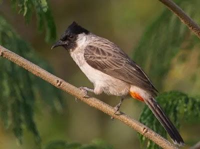 Burung Kutilang Jawa