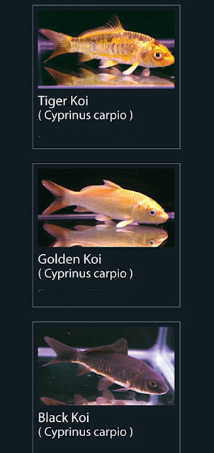 4. Tiger Koi Nama Latin Cyprinus carpio  5.   Golden koi Nama Latin Cyprinus carpio  6. Black Koi  Nama Latin Cyprinus carpio