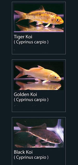 4. Tiger Koi Nama Latin Cyprinus carpio  5.   Golden koi Nama Latin Cyprinus carpio  6. Black Koi  Nama Latin Cyprinus carpio