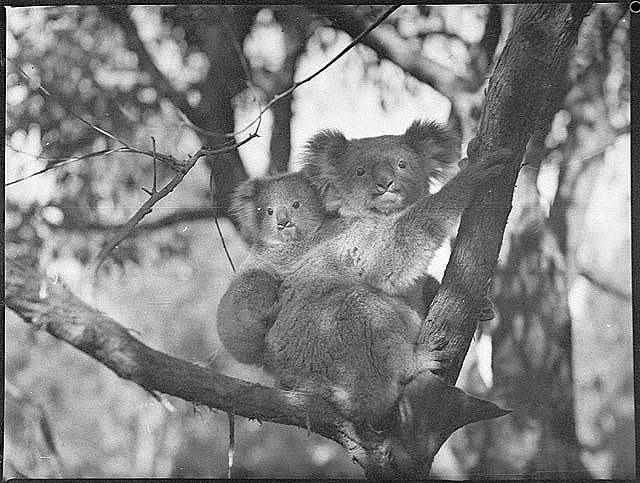 """Christening of bears"" at Koala Park, September 1938, by Sam Hood. Notes: Koala Park is a small zoo in the Sydney suburb of West Pennant Hills.From the collection of the State Library of New South Wales"