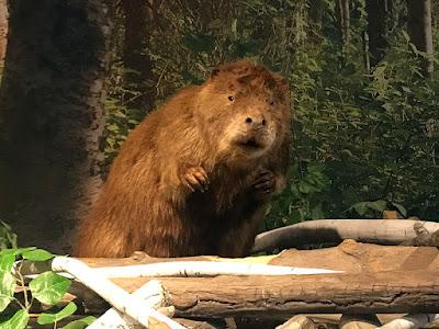 Beaver Display at the Kenai National Wildlife Refugee