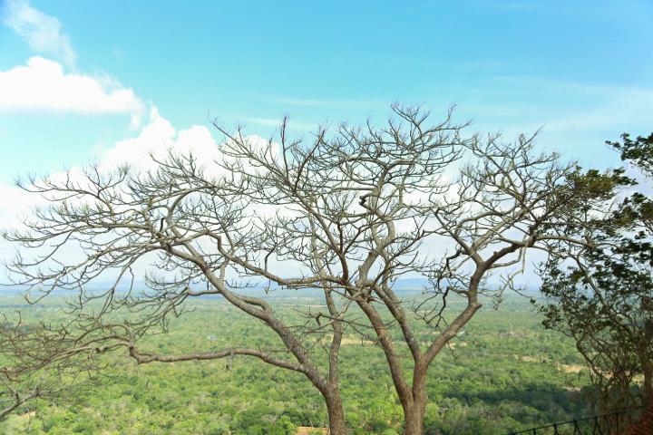Nature of Sigiriya, Sri Lanka trees
