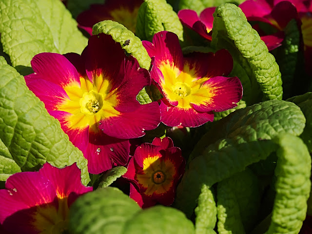 Close up of picture of purple and yellow polyanthus