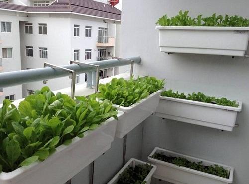 Rau sạch trồng ở ban công