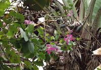 Hong Kong orchid tree - Senator Fong's Plantation and Gardens, Oahu, HI