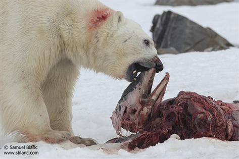sininen jääkarhu drinkki