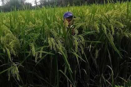 Padi PIM, Idola baru petani Indonesia.