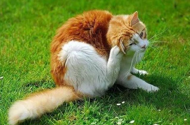 menghilangkan kutu kucing