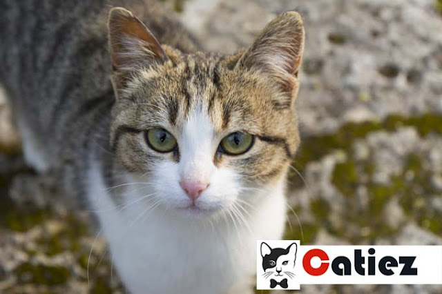 American Wirehair cat - all you want to know about American Wirehair cats