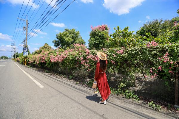 彰化溪州珊瑚藤粉紅色花牆好迷人,路過讓人忍不住想停留拍照