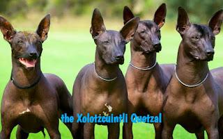 The rare breed the Xoloitzcuintli Quetzal