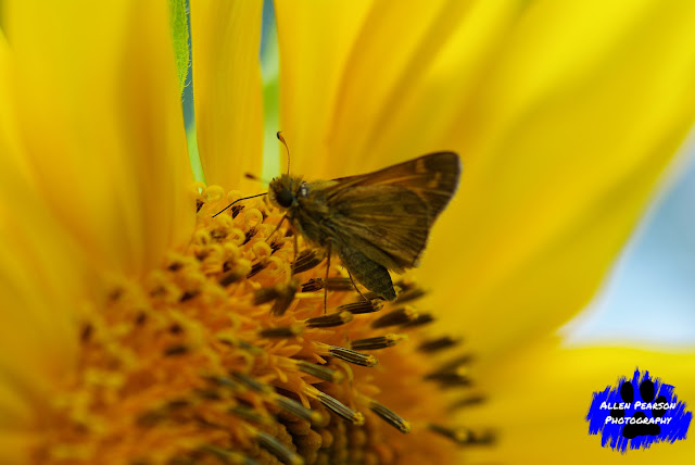 """Skipper and a Sunflower"" (C) Allen Pearson Photography"