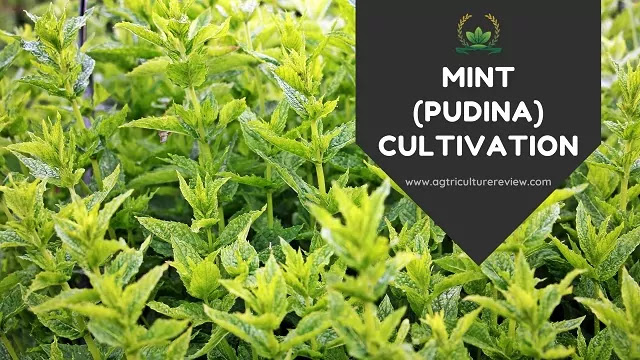 mint crop cultivation by agriculture review
