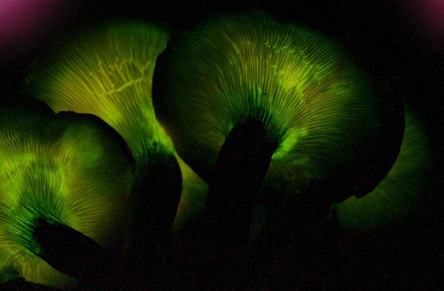 El hongo O. olearius se ilumina en la oscuridad