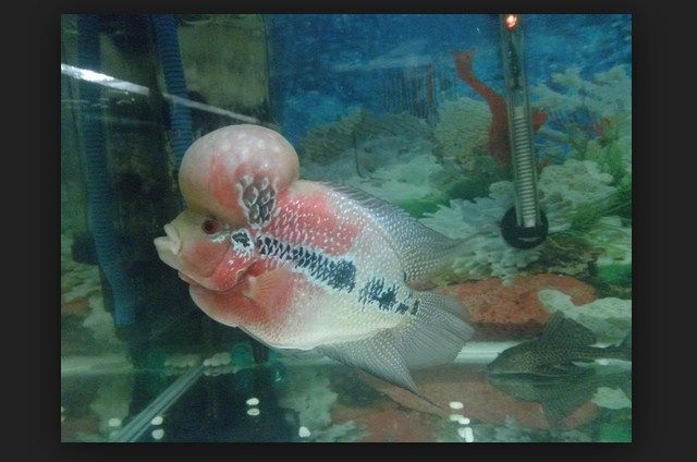Ikan Louhan Stress Dan Terserang Penyakit Penyebab Dan Solusinya