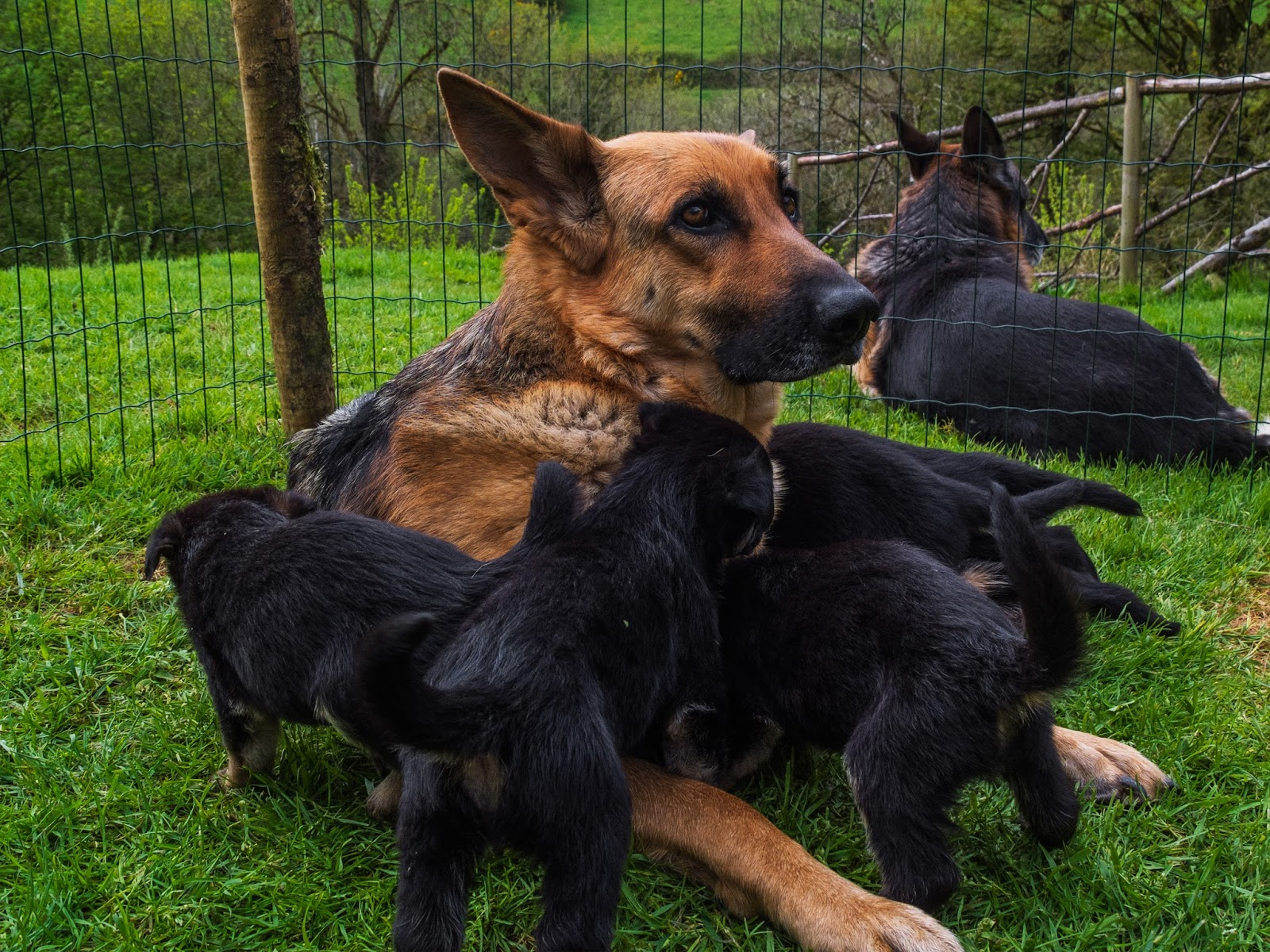 German Shepherd parents with their month old litter outside on the grass.