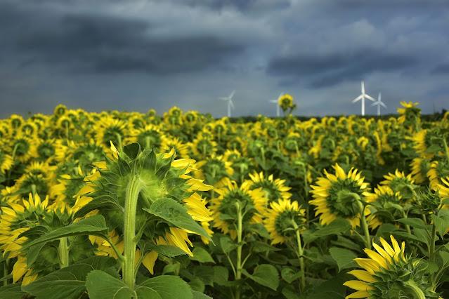 kumpulan gambar bunga matahari