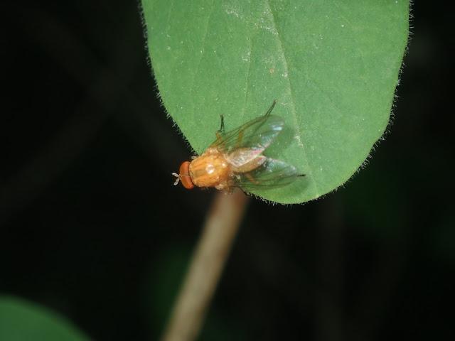 Pegomya sp