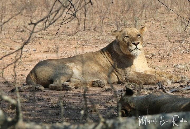Leona en Tshokwane, Kruger