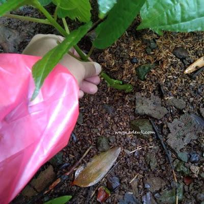 menanam daun pohpohan sumber pangan dari hutan