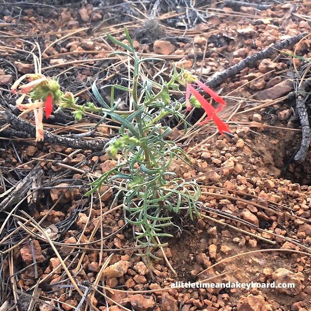 Brilliant Western Scarlet Gilia!