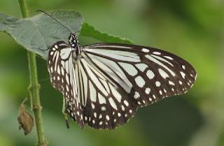 Parantica aglea, Glassy Tiger
