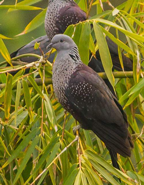 Birds of India - Photo of Speckled wood pigeon - Columba hodgsonii