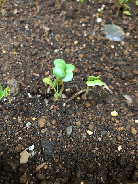 赤丸20日大根の発芽