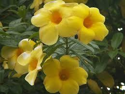 Tanaman Hias Cara Menanam Bunga Allamanda Dalam Pot