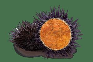 sea urchin : loài nhum biển, cầu gai (si ớ-chơn)