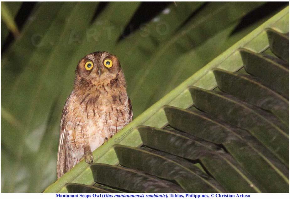 Christian Artuso: Birds, Wildlife: Mantanani Scops Owl ... - photo#23