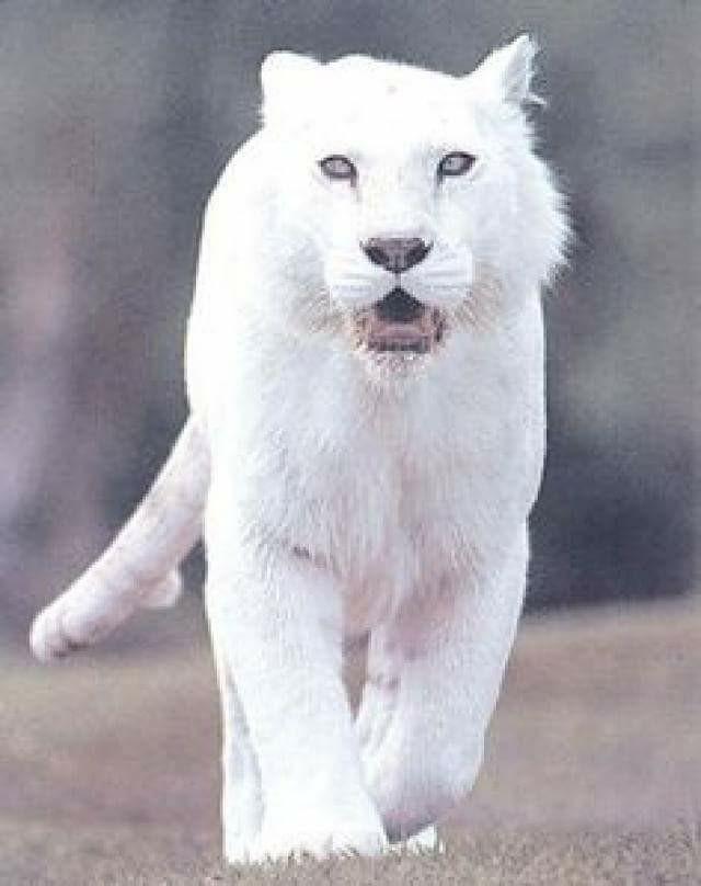 Jaguar | A-Z List of 125 Rare Albino Animals [Pics]
