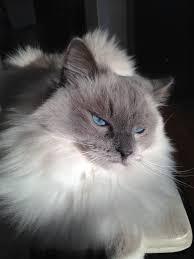 """""""قط الهملايا"""" """"قطط الهملايا"""" """"قطط الهملايا للبيع"""" """"قطط الهملايا بيكي فيس"""" """"قطط الهملايا اسعار"""" """"قطط الهملايا حراج"""" """"قطط الهملايا اورنج"""" """"قطط الهملايا ويكيبيديا"""" """"قطط الهملايا الازرق"""" """"قط الهيمالايا للبيع"""" """"قط الهيمالايا الازرق"""" """"شكل قطط الهملايا"""" """"قطط هملايا"""" """"قطط هيمالايا اورنج"""" """"قطط هيمالايا بيور"""" """"قطط شيرازى على سيامى"""" """"قطط هيمالايا"""" """"مواصفات قط الهيمالايا"""" """"قطط هيمالايا اورانج"""" """"قطط الهملايا شوكلت"""" """"قطط الهملايا ماذا تاكل"""""""