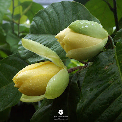 ความแตกต่าง ระหว่าง มณฑาทิพย์ กับ มณฑาทอง ดูที่ดอกและใบ