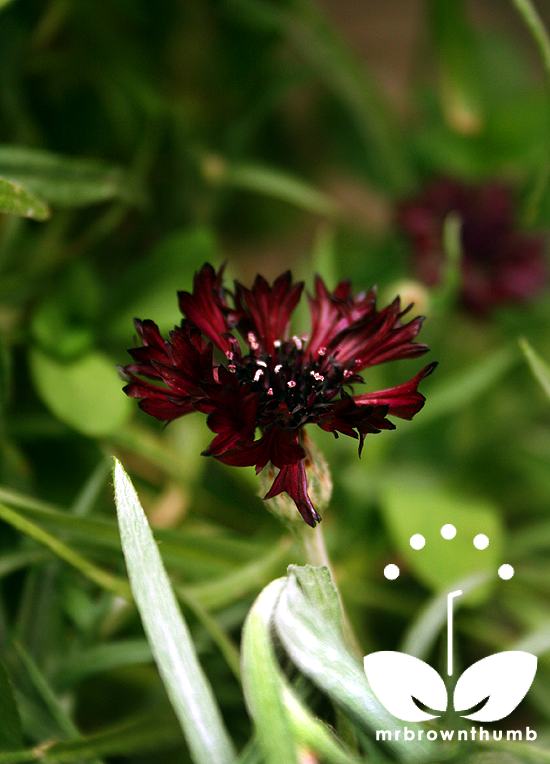 Bachelor's Button 'Black Boy' Centaurea cyanus