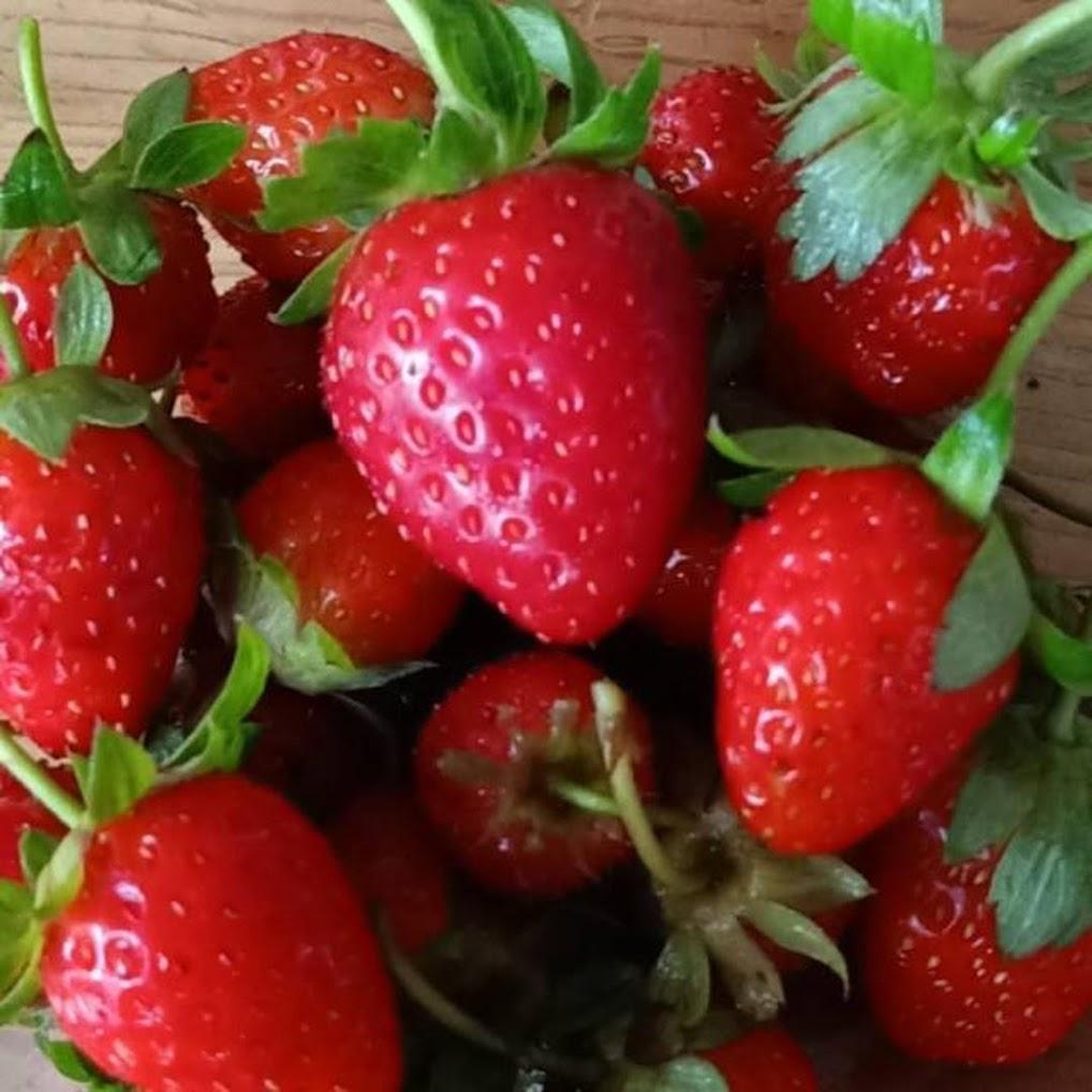 Bibit Strawberry California 12 Pohon siap pindah Tanam sudah adaptasi dataran rendah Bitung