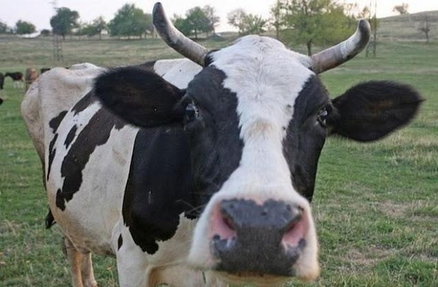 Боядисаха крави като зебри, за да не ги хапят мухите